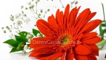 Come curare le gerbere e farle fiorire