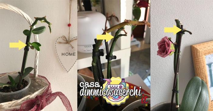 fioritura orchidea