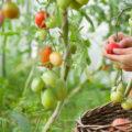Come coltivare i pomodori in giardino