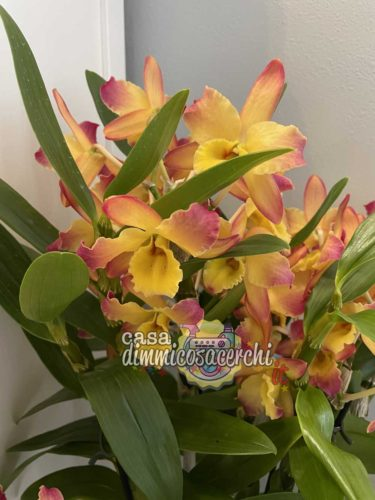 Dendrobium fiore